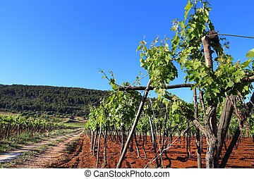 Apulia vineyard