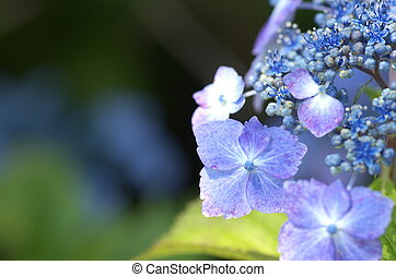 aqua hydrangea flowers - this photo is taken in Nagoya city