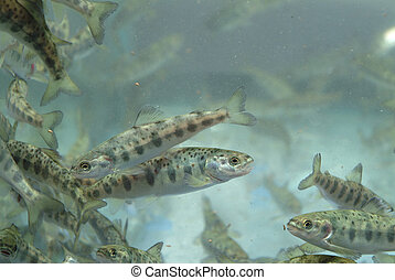 Small salmon swimming - Aquaculture industry. Small salmon...