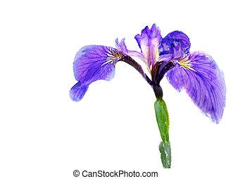 aquarelle, beau, iris, isolé, violet