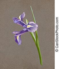 aquarelle, botanique, illustration