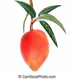 aquarelle, fruit tropical, mangue, illustration