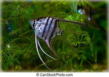 Pterophyllum - aquarium, aquarium fish, Pterophyllum