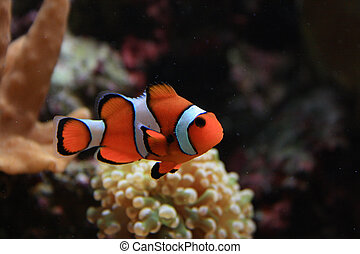 aquarium background with clown fish from the sea