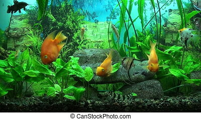 Aquarium - Beautiful aquarium with gold fishes