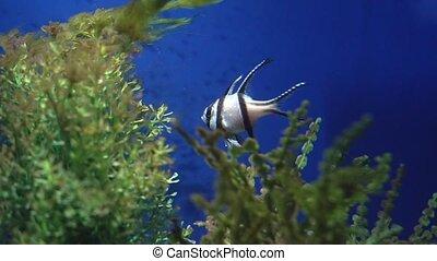 aquarium colourfull fishes in dark deep blue water. -...