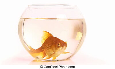 aquarium fingerling