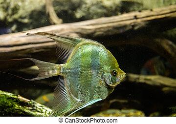 Aquarium fish Angel fish in the water
