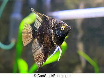 Aquarium Fish- Black Scalare in water.