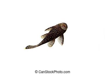 Aquarium Fish Bushymouth catfish on white