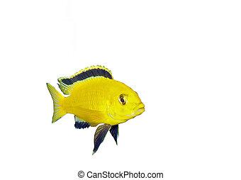 Aquarium Fish- Cichlid Hummingbird Yellow.(Labidochromis...