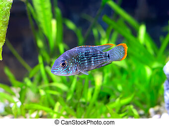 Aquarium Fish dwarf Cichlid-Apistogramma nijsseni. - ...
