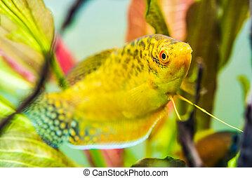 Aquarium Fish Golden gourami Trichogaster trichopterus