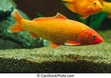 Aquarium fish - goldfish