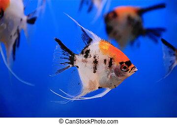 Aquarium fish - Image of aquarium fish in blue water