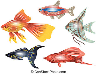 aquarium fish isolated on th white background