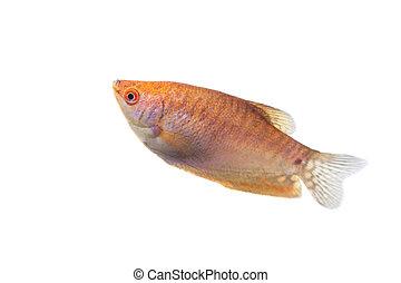 Aquarium Fish Lunar gourami on white background