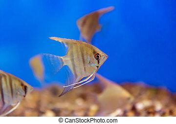 Aquarium fish scalare - Photo of tropical freshwater ...