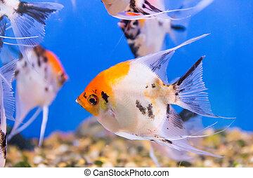 Aquarium fish scalare - Photo of tropical scalare in blue ...