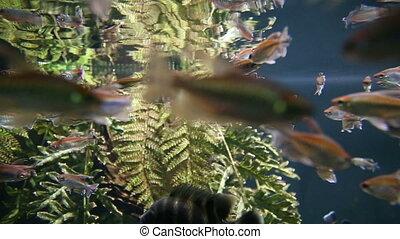 Aquarium fish swim underwater - Aquarium river fish swim...