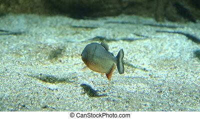 Aquarium fish swim underwater - Aquarium river fish swim...
