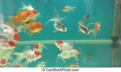 Aquarium fish swimming in relaxing the water meditation -...