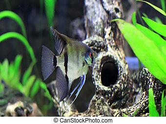 Aquarium Fish- white Scalare in water.