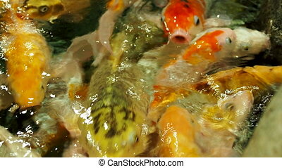 Aquarium full of hungry carp Koi fishes. Cyprinus carpio ...