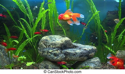 aquarium, met, goudvis