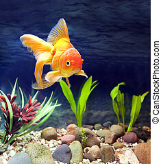 Aquarium Native Gold Fish - Aquarium native hardy fancy gold...