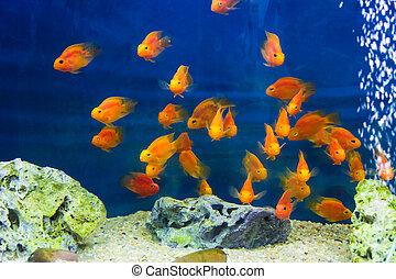 Aquarium parrot fish - Photo of aquarium parrot fish in blue...
