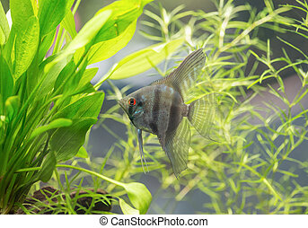 Aquarium Scalare fish floating in the water between plants. Angelfish (Pterophyllum scalare)