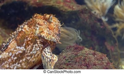 aquarium, skorpion fish - Scorpaenidae, the scorpionfish,...