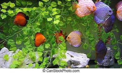 Aquarium with Discus
