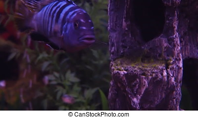 Aquarium with freshwater fish. A cichlid aquarium.