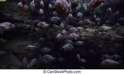 Aquarium with many piranhas