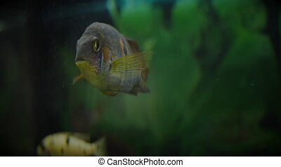 Aquarium with perch, closeup - Aquarium with perch looking ...