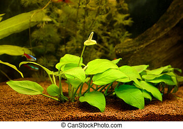 Aquarium with plants - Blooming anubias plant in the...