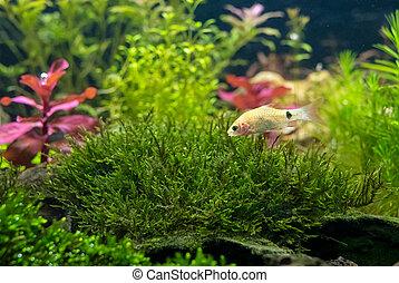 aquarium with tropical fish and natural plants.