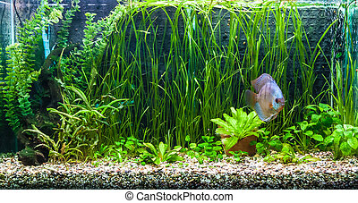 Aquarium with tropical fish of the Symphysodon discus...
