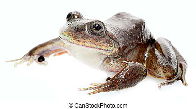 Aquatic frog - frog Telmatobius simonisi an endemic aquatic ...