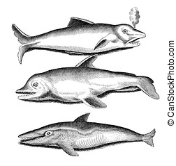 Aquatic life,dolphins, vintage engraving
