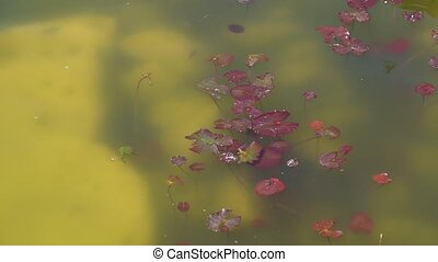 aquatic plant in the pond, surface of the lake - aquatic red...