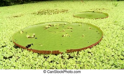 Aquatic Plants, Amazon