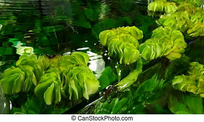 Closeup of aquatic plants in fresh water inside fish tank.