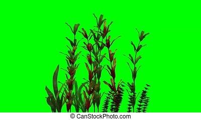 aquatic plants moves on green screen - aquatic plants moves...