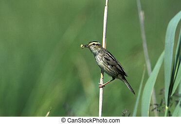 Aquatic warbler, Acrocephalus paludicola, single bird on...