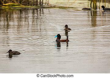 aquatique, coquillage, fish, lac, america.this, oiseaux mer, titicaca, pérou, réservation, îles, chasseurs, oiseaux, national, sud