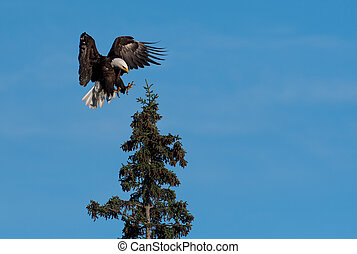 aquila, calvo, albero, atterraggio