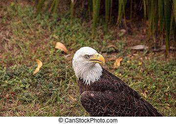 aquila, calvo, uccello, leucocephalus, haliaeetus